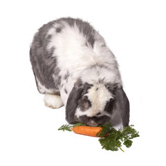 Cute Lop Bunny Rabbit Bending to Eat Carrot and Greens On White
