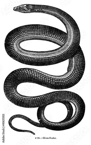 Vintage Snake Engraving - 40631383
