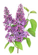 Purple  lilac isolated branch