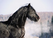Black friesian horse portrait in gallop