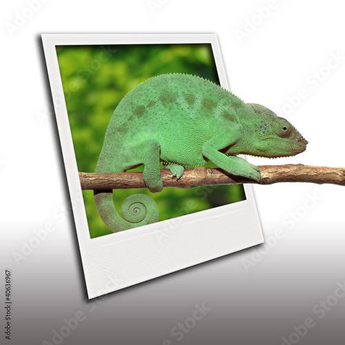 Staande foto Kameleon Caméléon sortant d'un polaroid