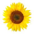 Fototapeten,sonnenblume,blume,blume,blütenblätter