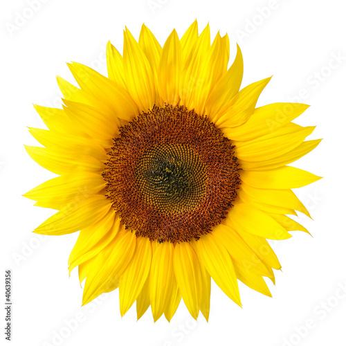 Leinwandbild Motiv Die perfekte Sonnenblume auf weiß