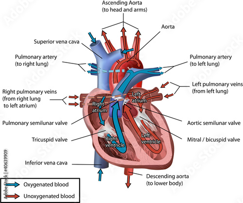 Human Heart Blood Flow Vector Illustration