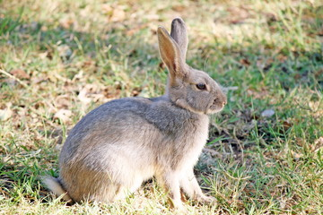 brown rabbit with long ears