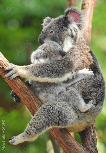 Poster Oceanië Australian Koala Bear with her baby, Sydney, Australia grey bear