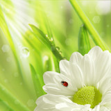 Fototapety white flower and little ladybug, natural background