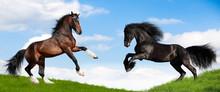 Frison noir et laurier chevaux Clydesdale dans le champ.