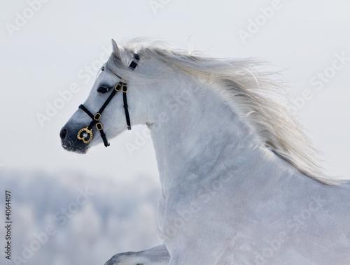 Biały Welsh Jazda jazdy w zimie