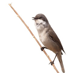 Lesser Whitethroat singing on  branch isolated on white