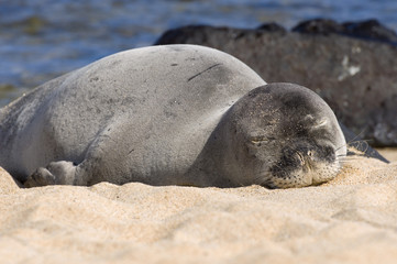 Monk Seal In Hawaii