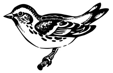 Siskin bird, hand-drawn illustration