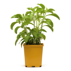 stevia plan into an orange bucklet, white