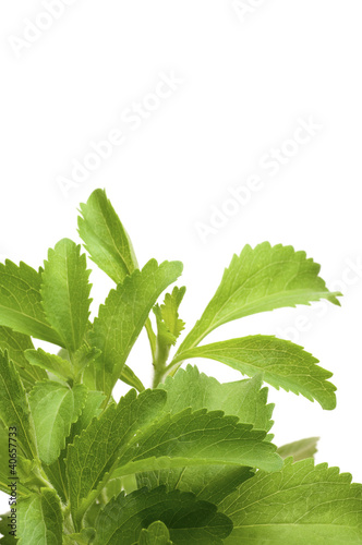 decorative stevia plan for bottom of a page, white