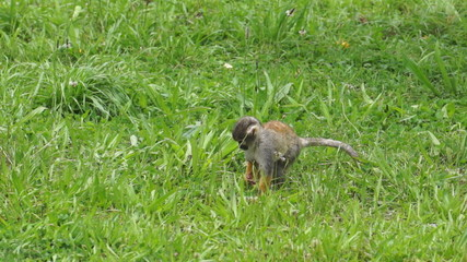 Cute Squirrel Monkey Walking Through the Grass