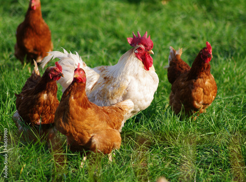 Organic laying hens