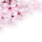 Fototapety Pink spring blossom design border background