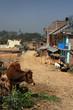 Vache dans un village de la Vallée de Katmandou