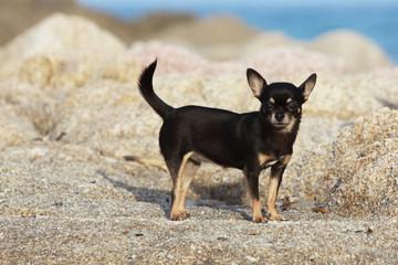 chihuahua à pil ras sur le rivage
