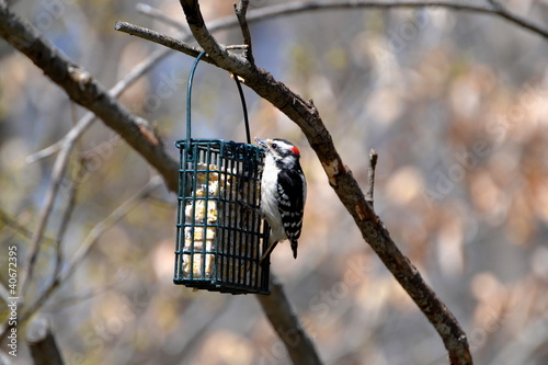 Woodpecker on a Suet Feeder