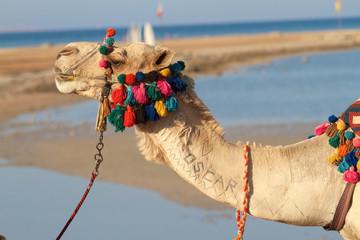 Oscar - Kamel mit Tattoos