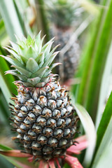 Pineapple with pineapple background