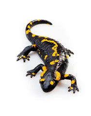 Fire Salamander(Salamandra salamandra)