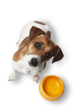 Dog Jack Russell is waiting for meal