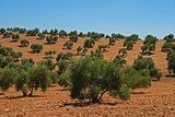 Olive grove near Bornos, Andalusia, Spain © Arena Photo UK