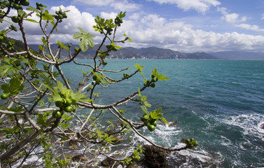 fig tree over the sea