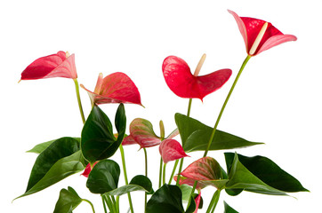 Beautiful Anthedesia anthurium