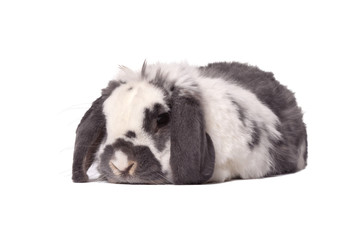 Cute Grey and White Bunny Rabbit Lying Down On White