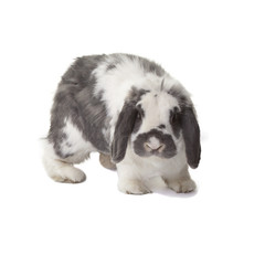 Cute Grey and White Bunny Rabbit Facing Forward On White