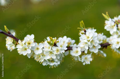 Fototapeten,frühling,kirschbaumblüten,jahreszeit,natur