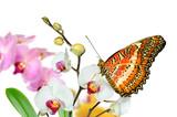 Fototapety Schmetterling 23