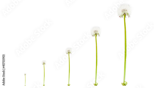 Dandelions that grow on white background