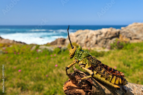 closeup of a  grasshopper