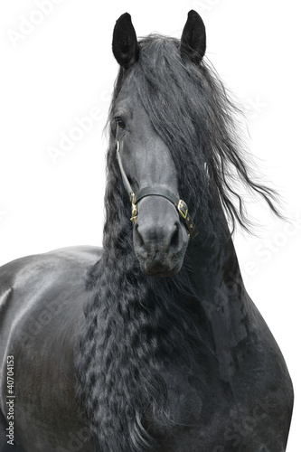 Friesian stallion on a white background