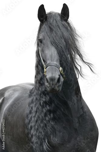 Friesian stallion on a white background - 40704153