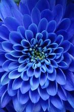 Zamknąć się z niebieskim kwiatem: Aster z niebieskimi płatkami