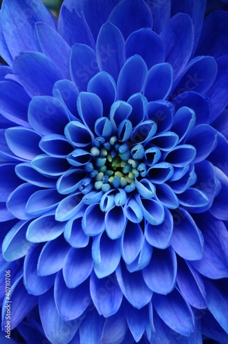 Close up of blue flower : aster with blue petals
