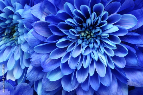 Foto op Canvas Macro Close up of blue flower : aster with blue petals