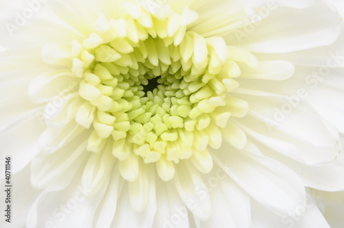 Close up of white flower : aster with white petals
