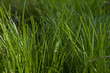 Green grass Lawn texture background