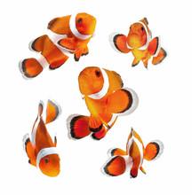 Klaun ryb lub ryb anemon na białym tle