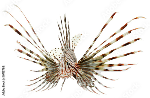 marine fish, lion fish isolated on white background