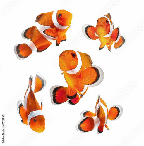 clown fish or anemone fish isolated on white background - 40713792