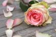 Rose with rose petals