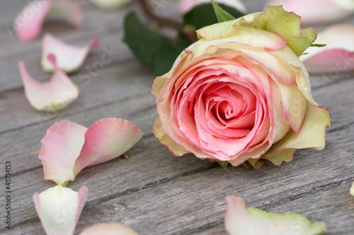 aufkleber rose with rose petals fototapeten aufkleber. Black Bedroom Furniture Sets. Home Design Ideas