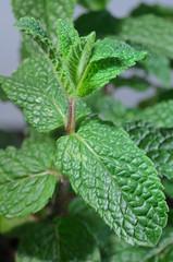 Pianta di menta piperita (Mentha piperita)